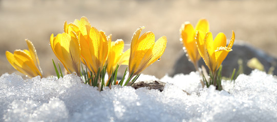 Poster Krokussen Crocuses yellow blossom on a spring sunny day in the open air. Beautiful primroses against a background of brilliant white snow.