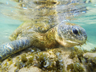 Snorkeling with a turtle in the Indian Ocean