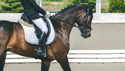 Dressage horse and rider. Bay horse portrait during dressage competition. Advanced dressage test.