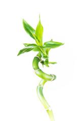 Houseplant  Lucky Bamboo (Dracaena Sanderiana)