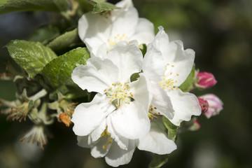 Apfelbaumblüten im Frühling.