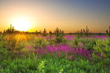 ummer rural landscape with purple flowers on a meadow and  sunset