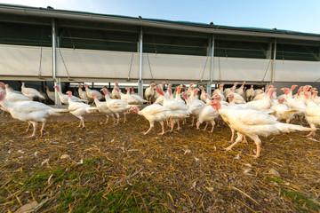 Puten vor dem Stall - Geflügel auf dem Biohof