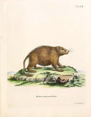 Illustration of a porcupine