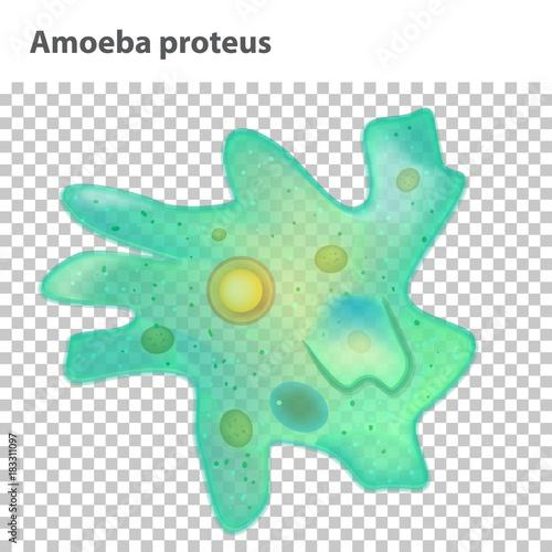 Education Chart For Amoeba Diagram Vector Illustration Stock Image