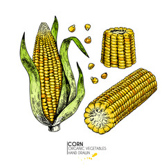Vector hand drawn set of farm vegetables. Isolated corn cob. Engraved colored art. Organic sketched vegetarian objects. Use for restaurant, menu, grocery, market, store. Maize, cereal, grain.