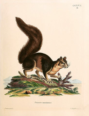 Illustration of a squirrel