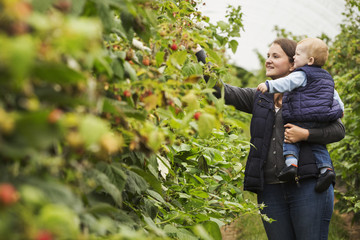 An adult woman and a toddler, a mother and son in a polytunnel among soft fruit bushes picking autumn raspberries.