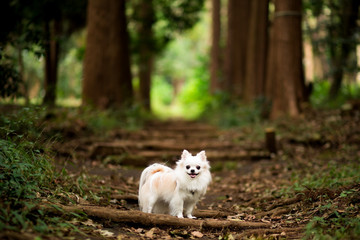 森の中を散歩するチワワ