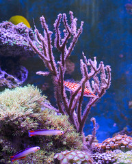 Reef tank, marine aquarium. Blue aquarium full of plants. Tank filled with water for keeping live underwater animals. Gorgonaria, Sea Fan. Zebrasoma. Hawkfish, Clownfish, Nemateleotris decora.