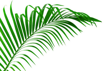 Leaf of palm tree isolated clipping path