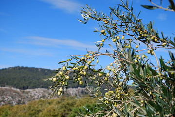 Olive di Sicilia