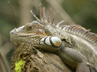 Portrait of green iguana, or common iguana (Iguana iguana)