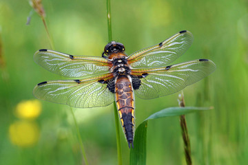 Libellula quadrimaculata, a very beautiful dragonfly with iridescent colors