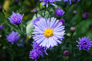 Aster flowers bloom in the garden. Selective focus.