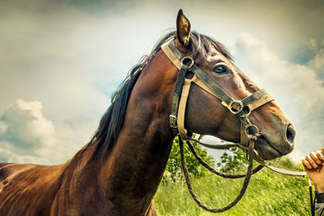 Racehorse. The jockey's hand stroking the horse's face. Sky background, toned.