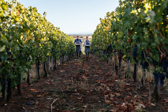 Couple carrying crates with grape in vineyard and looking happy.