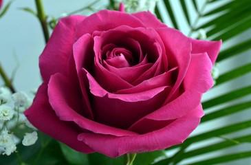 Роза,красота,фон, открытка