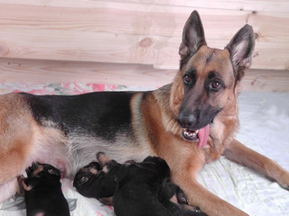 The happy mother. Feeding German shepherd puppies.