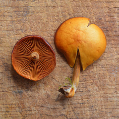 galerina marginata mushroom