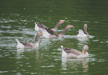 Lot of geese in the pond.