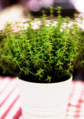 Fresh Thyme in Pot