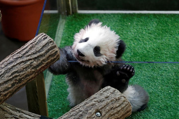 Yuan Meng, a four month old baby panda, is seen inside his enclosure during a ceremony at the Beauval zoo in Saint-Aignan-sur-Cher