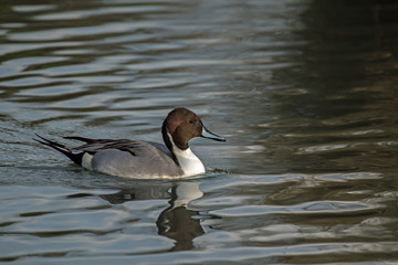 Pintail Duck Male in Sunlight