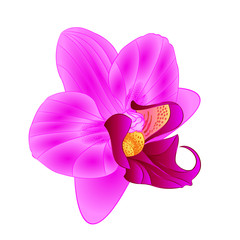 Purple  Orchid Phalaenopsis beautiful flower closeup isolated vintage  vector editable illustration hand draw