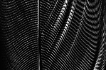 Black and white image of a piece of bird feathers, close-up.