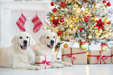 two happy golden retriever dogs posing for Chrsitmas