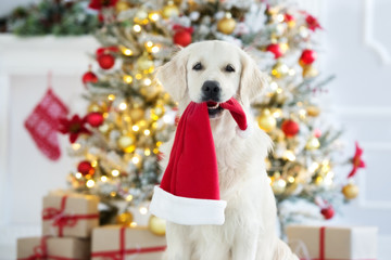 golden retriever dog holding a santa hat in mouth