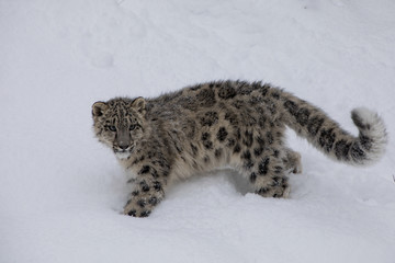 Fotobehang Luipaard Snow Leopard Cub