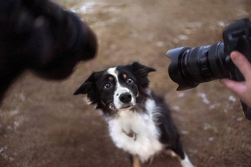 border collie dog posing for two cameras