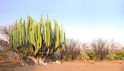Giant cactus, Mexico, North America