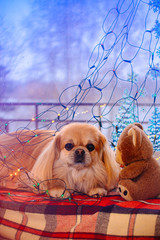 Dog wrapped in colorful Christmas lights sit on a window. Senior dog and christmas tree background. Christmas and new years for pet. Christmas time.