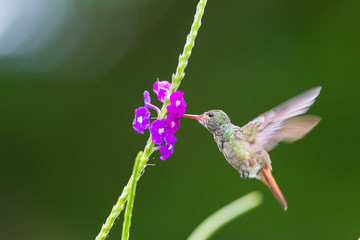 A hummingbird hovering at a flower in Costa Rica, Central America