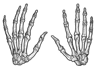 Human hand skeleton illustration, drawing, engraving, ink, line art, 