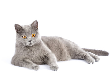 British cat resting on a white background