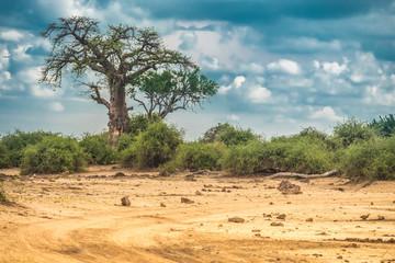 Poster Baobab Baobab tree, Chobe National Park, Botswana