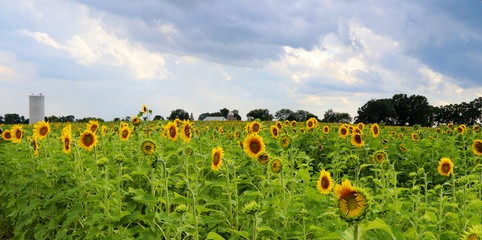 Agriculture and farming background.Scenic rural summer landscape with cloudy sky over field of sunflowers and farm buildings on a background. Beautiful summer nature background.