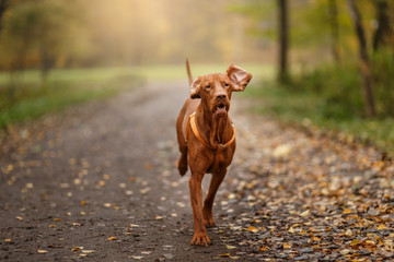 Active Hungarian Vizsla dog running outdoors in autumn park