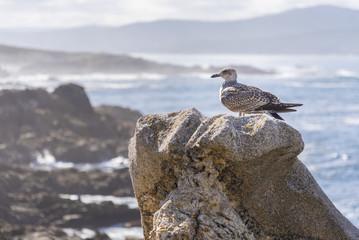 Gaviota en Costa da Morte (La Coruña, España).