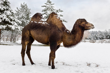 two-humped camel in the winter among the snow