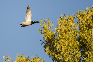 Mallard Duck Flying Past an Autumn Tree