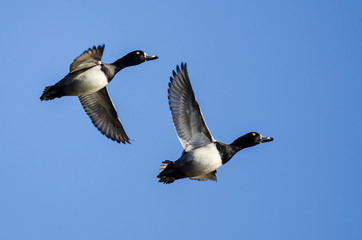 Two Ring-Necked Ducks Flying in a Blue Sky