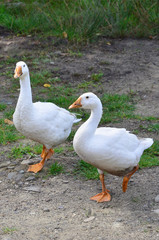 A pair of funny white geese are walking along the dirty grassy yard