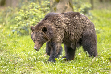 European brown bear foraging in forest habitat