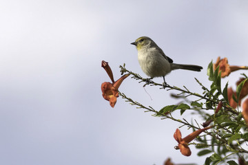 Verdin bird perched on the branch of an orange trumpet shaped flower bush
