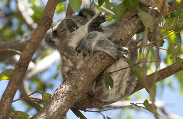 Koala asleep in Australian gum tree.